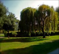 willow tree of life