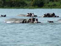 hippos on safari